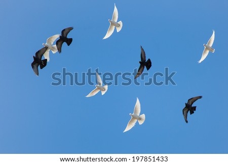 free flying black and white doves  - stock photo