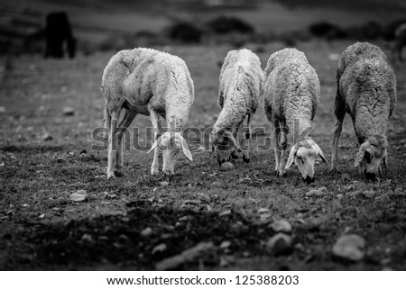 Free grazing sheep - stock photo