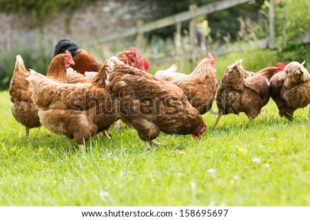 Free range chickens on a lawn pecking the ground - stock photo