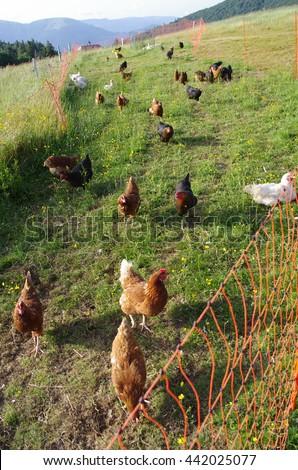 Free range chickens roam the yard on a farm. Chickens on traditional free range poultry farm/Chickens on the farm - stock photo