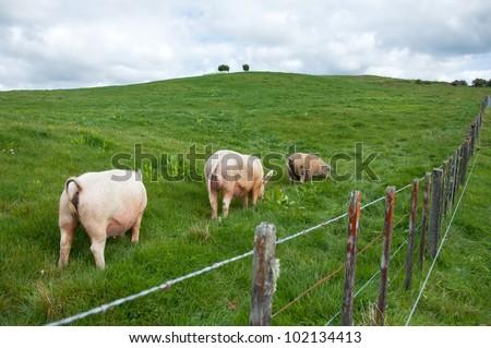 Free range large white pigs grazing in paddock - stock photo