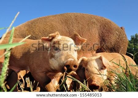 Free range pigs raised on a farm in Asheville, North Carolina - stock photo