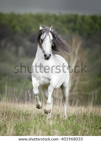 free white andalusian horse with long mane - stock photo