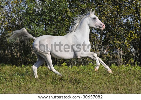free white horse run gallop on the meadow - stock photo