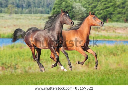 free young arabians colts in the summer field - stock photo