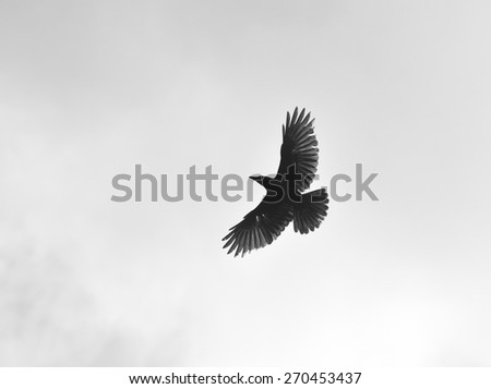 Freedom to travel. Born free. Sky is the limit. Spreading wings. Silhouette of a crow (Corvus brachyrhynchos) flying against the bright sky. - stock photo