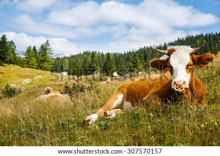 Freely grazing domestic and healthy cows on an idyllic sunny summer mountain pasture wit alpine cottages in the background. Free range, organic cattle farming and agriculture concept.  - stock photo