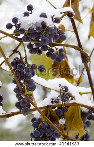Freezing grapes at winter with ice - stock photo