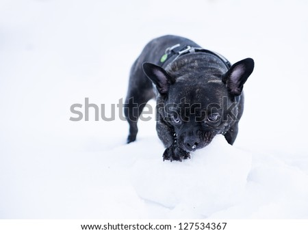 French buldog dog puppet bite white snow  ball - stock photo