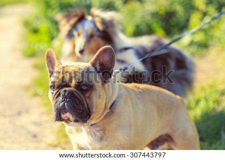 French bulldog and collie for a walk in the summer garden - stock photo