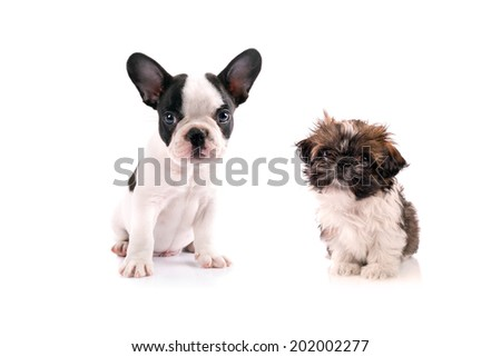 French bulldog and shih tzu puppies isolated on white background - stock photo