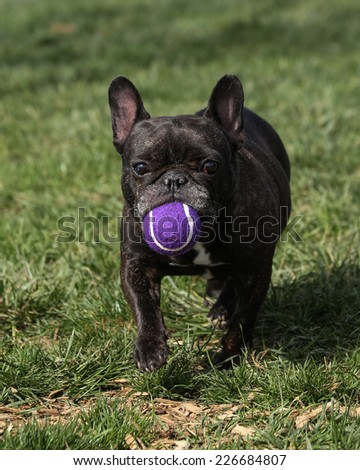 French Bulldog carrying a purple ball in the park - stock photo
