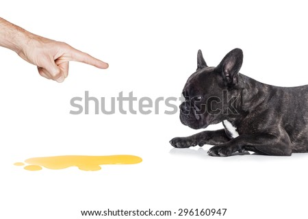 french bulldog dog being punished for urinate or pee  at home by his owner, isolated on white background - stock photo