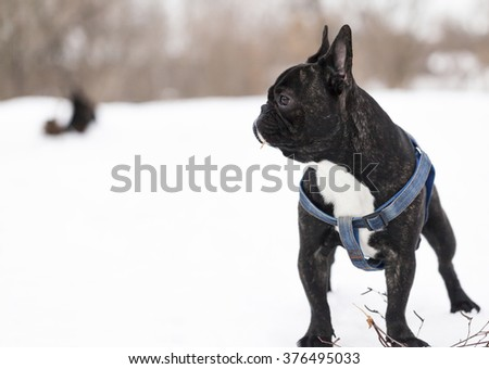 French Bulldog dog breed in the winter - stock photo