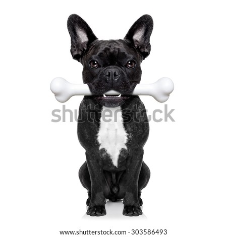 french bulldog dog  holding a big bone with mouth waiting for owner to go for a walk, isolated on white background - stock photo
