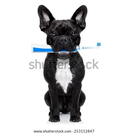 french bulldog dog holding electric toothbrush with mouth , isolated on white background - stock photo