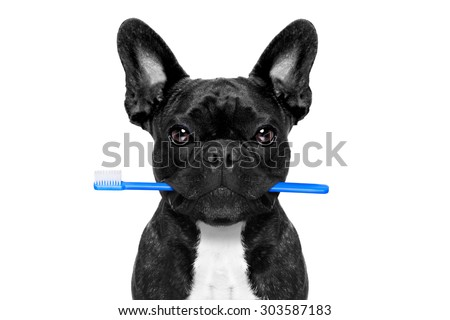 french bulldog dog holding toothbrush with mouth at the dentist or dental veterinary, isolated on white background - stock photo