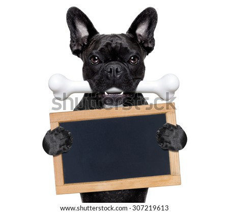 french bulldog dog  hungry with a big bone in mouth, holding  a  blank blackboard or placard, isolated on white background - stock photo