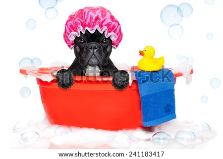french bulldog dog in a bathtub not so amused about that , with yellow plastic duck and towel, covered in foam , isolated on white background, wearing a bathing cap - stock photo