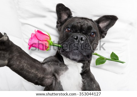 french bulldog  dog looking and staring at you   ,while lying on bed with valentines rose in mouth , taking a selfie , in love - stock photo