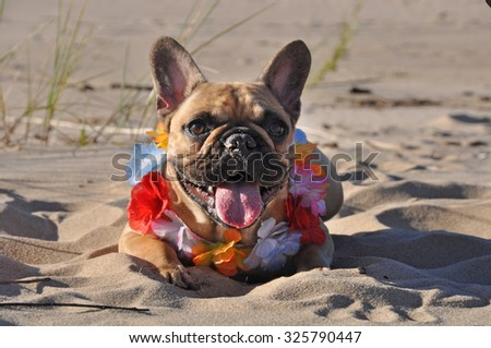 French Bulldog dog on the sea with necklace - stock photo