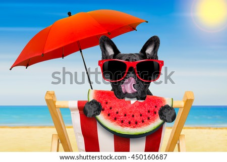 french bulldog dog relaxing on a fancy red  hammock  with red sunglasses, on summer vacation holidays at the beach, eating a fresh juicy watermelon - stock photo