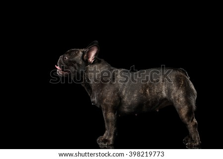French Bulldog Dog Standing on Mirror and Looking up, Side view,  Isolated on black background - stock photo