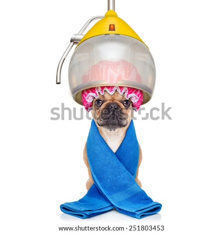 french bulldog dog  under the hood dryer , drying hair with a shower cap, isolated on white background - stock photo