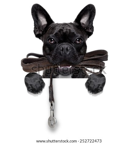french bulldog dog   waiting to go for a walk with owner, leather leash in mouth, behind blank  banner, isolated on white background - stock photo
