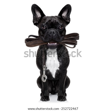 french bulldog dog   waiting to go for a walk with owner, leather leash in mouth,  isolated on white background - stock photo