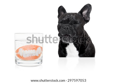 french bulldog dog  with false  set  of prosthetic teeth , cleaning in a glass of water - stock photo