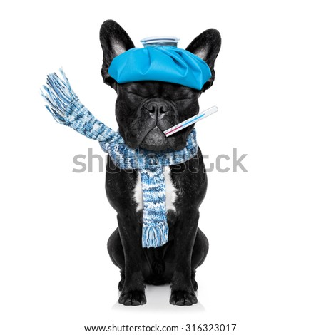 french bulldog dog  with  headache and hangover with ice bag or ice pack on head, eyes closed suffering , isolated on white background - stock photo