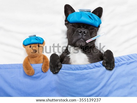 french bulldog dog  with  headache and hangover with ice bag or ice pack on head, eyes closed suffering , in bed resting and sleeping - stock photo