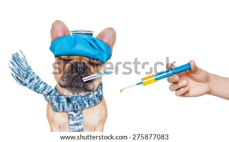 french bulldog dog  with  headache and hangover with ice bag or ice pack on head,thermometer in mouth with high fever, eyes closed suffering ,syringe on its way,  isolated on white background - stock photo