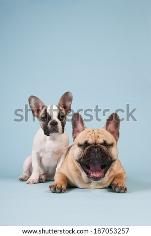 French bulldog dogs in studio on pastel color blue background - stock photo