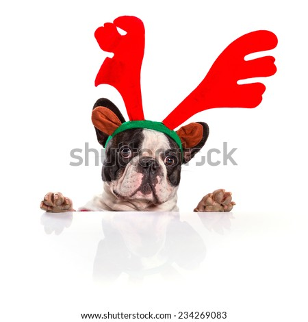 French bulldog dressed as reindeer Rudolph over white - stock photo