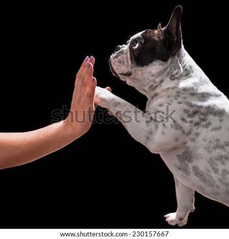 French bulldog giving high five with female hand over black - stock photo