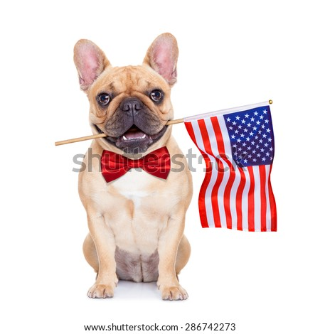 french bulldog  holding a flag of usa on independence day on 4th  of july , with mouth , isolated on white background, - stock photo