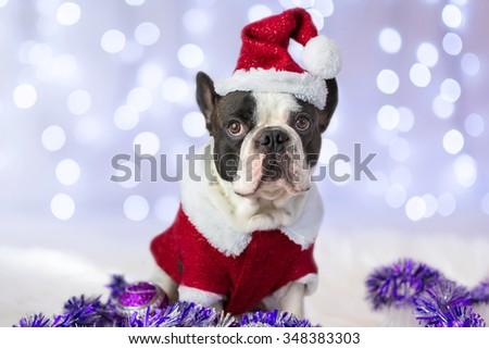 French bulldog in santa costume for Christmas - stock photo
