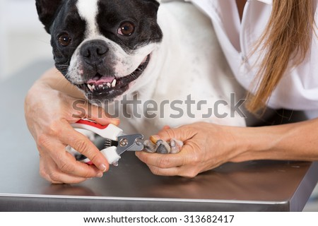 French Bulldog in the canine hairdresser cutting his nails - stock photo
