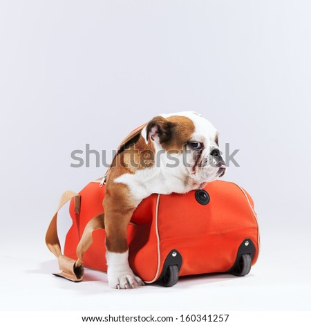 French bulldog inside a travel luggage - stock photo