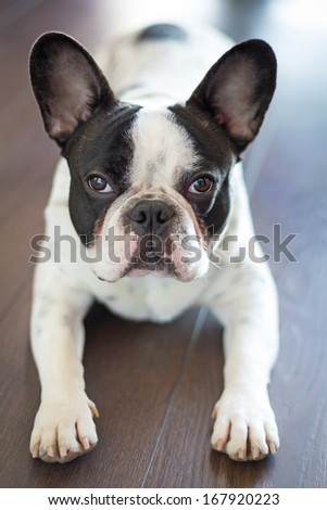 French bulldog laying on the floor - stock photo
