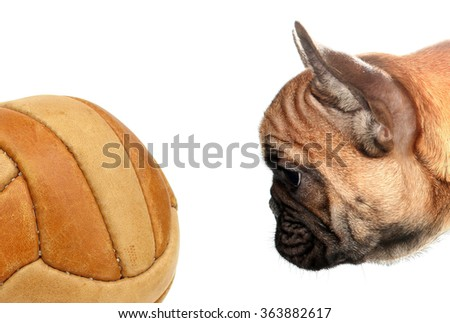 French bulldog looking soccer ball - stock photo