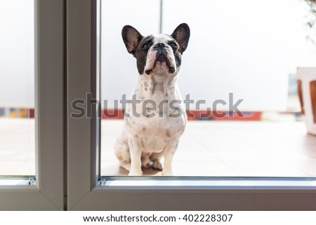 French bulldog looking through the balcony window - stock photo