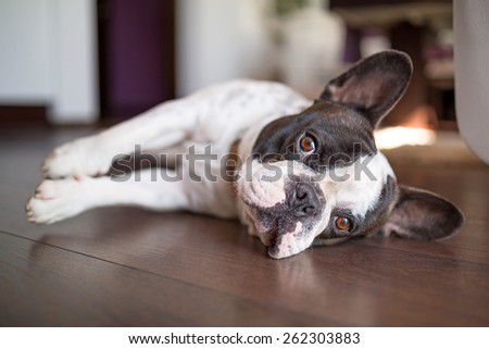 French bulldog lying down on the floor - stock photo