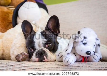 French bulldog lying with his teddy bears - stock photo