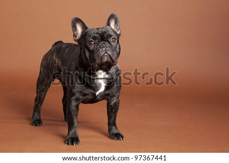 French Bulldog Male - stock photo