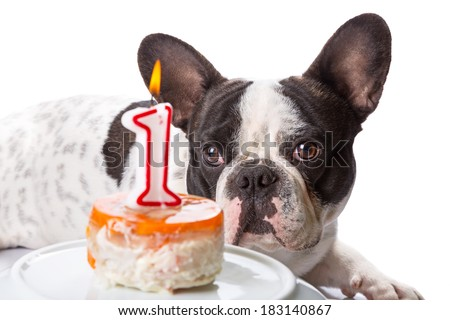 French bulldog on his first birthday with doggy cake - stock photo