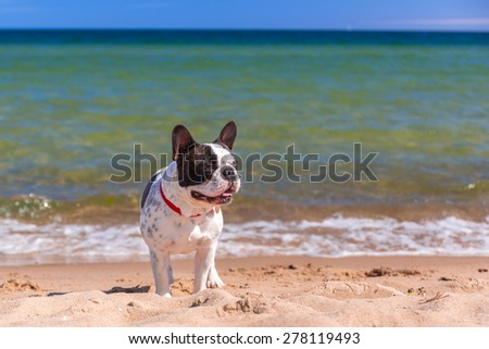 French bulldog on the beach of Baltic sea - stock photo