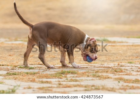 French bulldog playing with a ball - stock photo